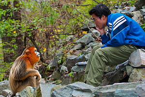 Quinling Golden snub nosed monkey (Rhinopitecus roxellana qinlingensis), adult male staring back at Chinese biologist. Zhouzhi Nature Reserve, Qinling Mountains, Shaanxi, China 2006  -  Florian Möllers