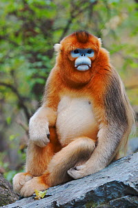 Quinling Golden snub nosed Monkey (Rhinopitecus roxellana qinlingensis), adult male with blue face  sitting on a rock on the ground. Zhouzhi Nature Reserve, Qinling Mountains, Shaanxi, China.  -  Florian Möllers