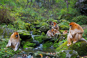 Quinling Golden snub nosed monkey (Rhinopitecus roxellana qinlingensis) family group foraging along a small creek in a gullly. Zhouzhi Nature Reserve, Qinling Mountains, Shaanxi, China.  -  Florian Möllers