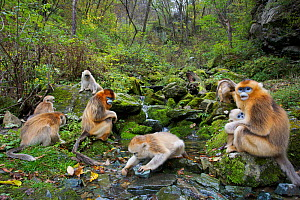 Quinling Golden snub nosed monkey (Rhinopitecus roxellana qinlingensis), family group foraging along a small creek in a gullly. Zhouzhi Nature Reserve, Qinling Mountains, Shaanxi, China.  -  Florian Möllers