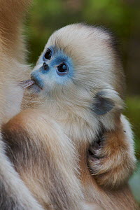 Quinling Golden snub nosed Monkey (Rhinopitecus roxellana qinlingensis) infant nursing. Zhouzhi Nature Reserve, Qinling Mountains, Shaanxi, China.  -  Florian Möllers