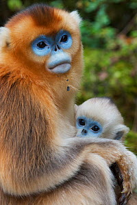 Quinling Golden snub nosed Monkey (Rhinopitecus roxellana qinlingensis), mother and infant. Zhouzhi Nature Reserve, Qinling Mountains, Shaanxi, China.  -  Florian Möllers