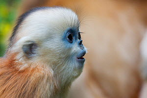 Quinling Golden snub nosed monkey (Rhinopitecus roxellana qinlingensis) infant uttering soft distress call, Zhouzhi Nature Reserve, Qinling Mountains, Shaanxi, China.  -  Florian Möllers