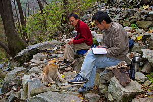 Quinling Golden snub nosed monkey (Rhinopitecus roxellana qinlingensis), juvenile observed by two Chinese biologists, all sitting on rocky slope. Zhouzhi Nature Reserve, Qinling Mountains, Shaanxi, Ch...  -  Florian Möllers