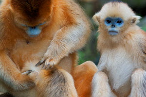 Quinling Golden snub nosed monkey (Rhinopitecus roxellana qinlingensis), adult female self-grooming, infant behind, Zhouzhi Nature Reserve, Qinling Mountains, Shaanxi, China.  -  Florian Möllers