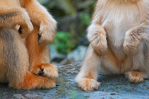Quinling Golden snub nosed monkey (Rhinopitecus roxellana qinlingensis) close up of furry yeti like hand and feet of adult female (left) and juvenile. Zhouzhi Nature Reserve, Qinling Mountains, Shaanx...  -  Florian Möllers