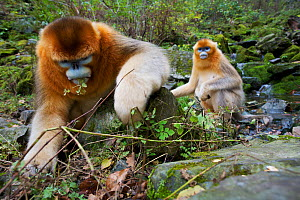 Quinling Golden snub nosed monkey (Rhinopitecus roxellana qinlingensis), adult male (foreground) and family group foraging along a small creek in a gullly. Zhouzhi Nature Reserve, Qinling Mountains, S...  -  Florian Möllers