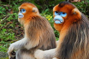 Quinling Golden snub nosed monkey (Rhinopitecus roxellana qinlingensis), adult male (right) and female sitting on the ground close to each other. Zhouzhi Nature Reserve, Qinling Mountains, Shaanxi, Ch...  -  Florian Möllers