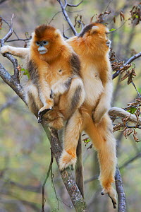 Quinling Golden snub nosed Monkey (Rhinopitecus roxellana qinlingensis) relaxing in trees. Zhouzi Nature Reserve, Qinling Mountains, Shaanxi, China.  -  Florian Möllers