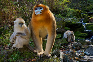 Quinling Golden snub nosed monkey (Rhinopitecus roxellana qinlingensis), adult male and infants (foreground) and family group foraging along a small creek in a gullly. Zhouzhi Nature Reserve, Qinling...  -  Florian Möllers
