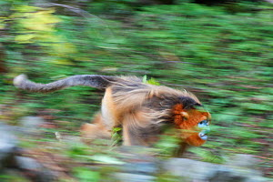 Quinling Golden snub nosed monkey (Rhinopitecus roxellana qinlingensis), adult male attacking rival in full speed on the ground, Zhouzhi Nature Reserve, Qinling Mountains, Shaanxi, China.  -  Florian Möllers