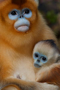 Quinling Golden snub nosed Monkey (Rhinopitecus roxellana qinlingensis), female holding infant, Zhouzhi Nature Reserve, Qinling Mountains, Shaanxi, China.  -  Florian Möllers