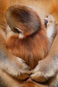 Quinling Golden snub nosed Monkey (Rhinopitecus roxellana qinlingensis), infant suckling Zhouzhi Nature Reserve, Qinling Mountains, Shaanxi, China.  -  Florian Möllers
