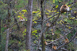 Quinling Golden snub nosed monkey (Rhinopitecus roxellana qinlingensis), family group resting and grooming in a stand of trees. Zhouzhi Nature Reserve, Qinling Mountains, Shaanxi, China.  -  Florian Möllers