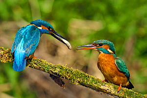 Kingfisher (Alcedo atthis) male passing fish to female during spring courtship behaviour, Hertfordshire, England, UK, March. Sequence 1 of 6.  -  Andy Sands