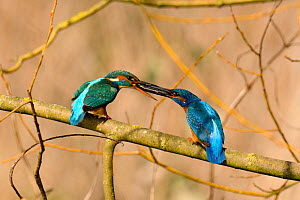 Kingfisher (Alcedo atthis) male passing fish to female early spring courtship behaviour, Hertfordshire, England, UK, March.  -  Andy Sands