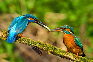 Kingfisher (Alcedo atthis) male passing fish to female spring during courtship behaviour, Hertfordshire, England, UK, March. Sequence 2 of 6.  -  Andy Sands
