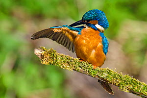Kingfisher (Alcedo atthis) male preening wing on mossy branch, Hertfordshire, England, UK, March  -  Andy Sands