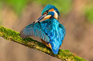 Kingfisher (Alcedo atthis) male preening wing with muddy bill, Hertfordshire, England, UK, March.  -  Andy Sands