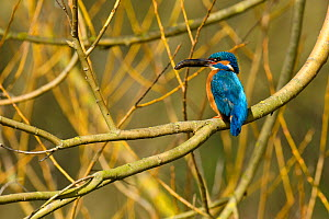 Kingfisher (Alcedo atthis) male perched in tree holding fish, Hertfordshire, England, UK, March.  -  Andy Sands