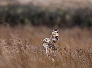 Short-eared owl (Asio flammeus) hunting, pouncing on prey, Prestwick Carr, Northumberland, UK. December  -  Roger Powell