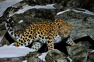 Wild female Amur leopard (Panthera pardus orientalis) on rocky hillside, Kedrovaya Pad reserve, Primorsky Krai, Far East Russia, January. Critically endangered species. Commended in Wildlife Photograp... - Vladimir  Medvedev