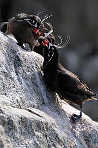 Whiskered Auklet (Aethia pygmaea) male (below) and female courtship, Jonah's island, Sea of Okhotsk, Far East Russia, July  -  Vladimir Medvedev