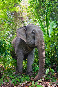 Asian elephant (Elephas maximus) domestic working animal in rainforest, Havelock Island, Andaman Islands, India - Konrad Wothe
