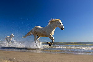 Camargue horses (Equus caballus) running in water at beach, Camargue, France, April  -  Konrad Wothe