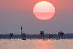 Greater flamingoes (Phoenicopterus ruber) at sunrise, Camargue, France, April  -  Konrad Wothe