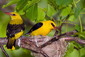 Golden orioles (Oriolus oriolus) pair at nest, with food for chicks, Bulgaria, June  -  Konrad Wothe