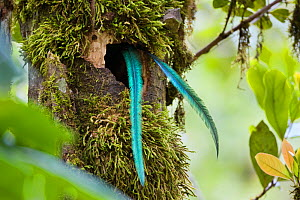 Resplendent Quetzal (Pharomachrus mocinno costaricensis) male tail feathers hanging out of the nest, Costa Rica - Konrad Wothe