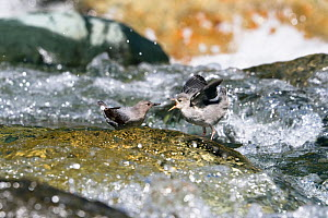 American dipper (Cinclus mexicanus) feeding young in middle of stream, Costa Rica  -  Konrad Wothe