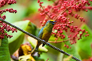 Gould's Euphonia (Euphonia gouldi) male in lowland rainforest, Braulio Carrillo National Park, Costa Rica - Konrad Wothe