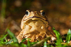 Cane toad (Bufo marinus), lowland rainforest, Braulio Carrillo National Park, Costa Rica  -  Konrad Wothe