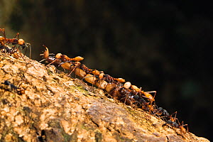 Army Ants (Eciton burchelli) with the tail of a scorpion, major, submajor and workers, rainforest of La Selva, Costa Rica  -  Konrad Wothe