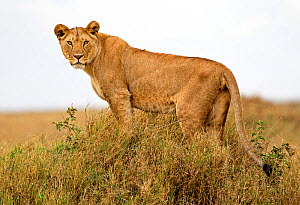 African lion (Panthera leo) pausing to look towards photographer before heading out to hunt, Tanzania, Africa.  -  Diane McAllister