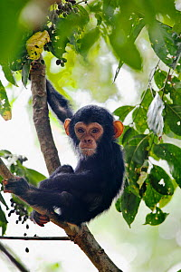 Young Chimpanzee (Pan troglodytes) in tree,  Mahale Mountains National Park, Tanzania, East Africa  -  Konrad Wothe