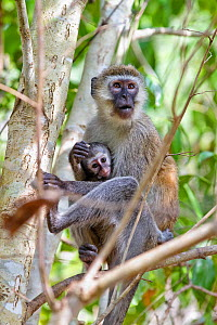 Black-faced Vervet monkeys (Cercopithecus pygerythrus) female with young, Mahale Mountains National Park, Tanzania, East Africa - Konrad Wothe