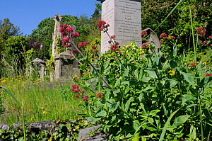 Red Valerian (Centranthus ruber) flowering near 19th Century monuments and graves in Arnos Vale Cemetery, Bristol, UK, May. - Nick Upton