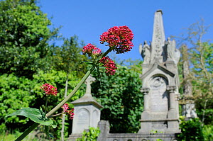 Red Valerian (Centranthus ruber) flowering near tombs and crosses in Arnos Vale Cemetery, Bristol, UK, May. - Nick Upton