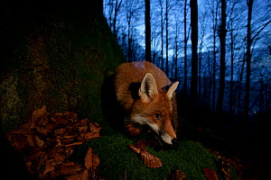 Red fox (Vulpes vulpes) at base of tree trunk in the Black Forest, Germany, Winner of Fritz Polking portfolio prize , GDT 2011 competition  -  Klaus Echle