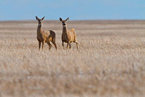 Mule deer (Odocoileus hemionus) two females on the Canadian prairies, Saskatchewan, Canada, January - Todd Mintz