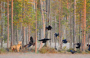 Eurasian / Grey wolf (Canis lupus) watching flying flock of Common raven (Corvus corax) Kuhmo, Finland. September. - Staffan Widstrand