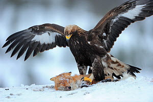 Golden eagle (Aquila chrysaetos) close up in snow with Red fox (Vulpes vulpes). Photographed at a wildlife watching facility, the fox was shot by local hunters as a standard wildlife management practi... - Staffan Widstrand