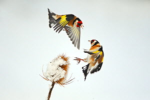 Two Goldfinches (Carduelis carduelis) squabbling over Common teasel (Dipsacus fullonum) seeds in winter, Hope Farm RSPB reserve, Cambridgeshire, England, UK, February. 2020VISION Exhibition. 2020VISIO...  -  Mark Hamblin / 2020VISION
