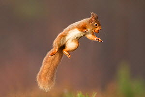 Red squirrel (Sciurus vulgaris) jumping, holding a nut in its mouth, Cairngorms National Park, Scotland, UK, March. Did you know? Red squirrels weigh half as much as grey squirrels. - Peter Cairns / 2020VISION