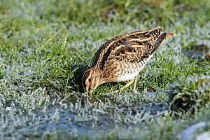 Snipe (Gallinago gallinago) probing for worms, Warwickshire, UK, February  -  Mike Wilkes