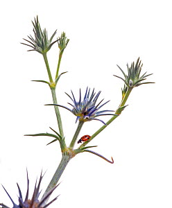 Blue devil (Eryngium ovinum) with Ladybird, Illawarra forest, Victoria, Australia, December. Grows commonly along the sides of roads where it is often mistaken for a thistle. meetyourneighbours.net pr...  -  MYN / John Tiddy