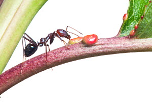 Meat ant (Iridomyrmex purpureus) harvesting nectar from non floral nectaries on a cherry tree, Wimmera, Victoria, Australia, February. meetyourneighbours.net project - MYN / John Tiddy